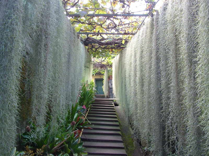 Тилландсия уснеевидная фото каскада растений