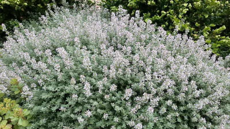 Тимьян Аргентеус серебристый Thymus vulgaris 'Argenteus' фото