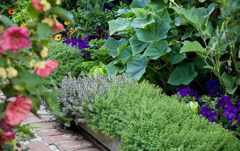 Тимьян на даче выращивание и уход фото