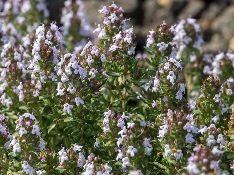 Тимьян обыкновенный Thymus vulgaris фото