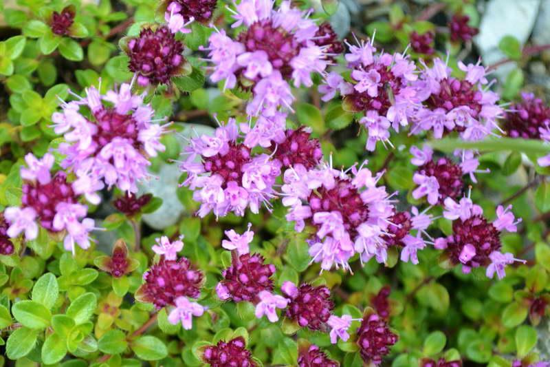 Тимьян ползучий Thymus serpyllum фото