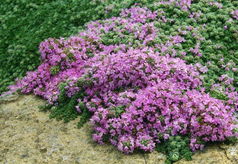 Тимьян ранний Thymus praecox фото
