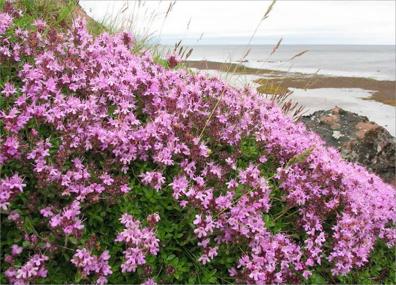 Тимьян субарктический Thymus subarcticus фото