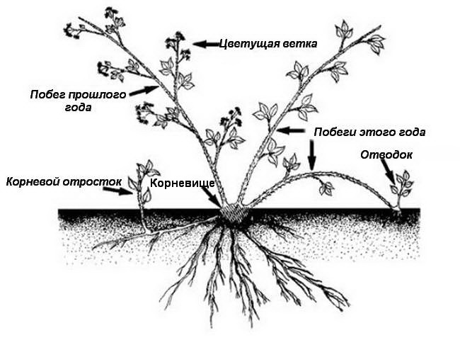 Типы плетей и способы размножения ежемалины фото