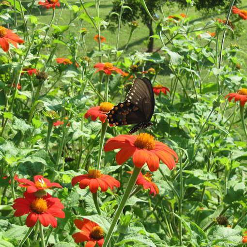 Титония круглолистная фото в саду