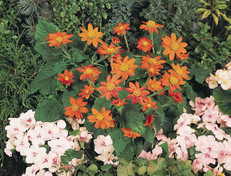 Титония в саду фото с другими цветами