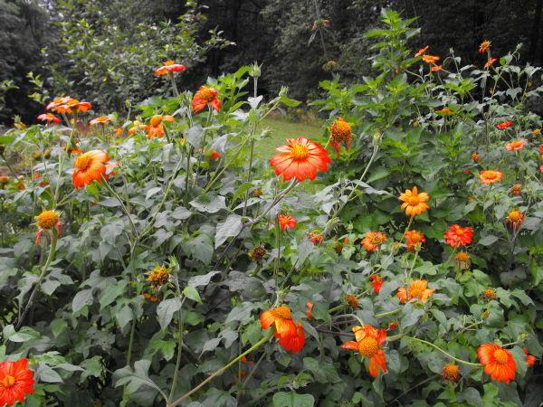 Титония выращивание из семян когда сажать
