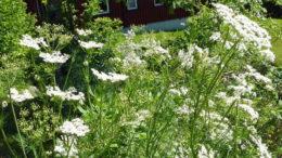 Тмин обыкновенный выращивание из семян Посадка и уход в открытом грунте фото