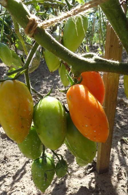 Томат Лисичка отзывы фото урожайность характеристика