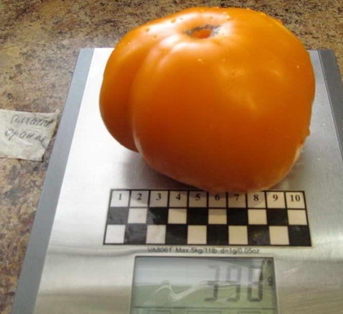 Томат алтайский оранжевый характеристика и описание сорта