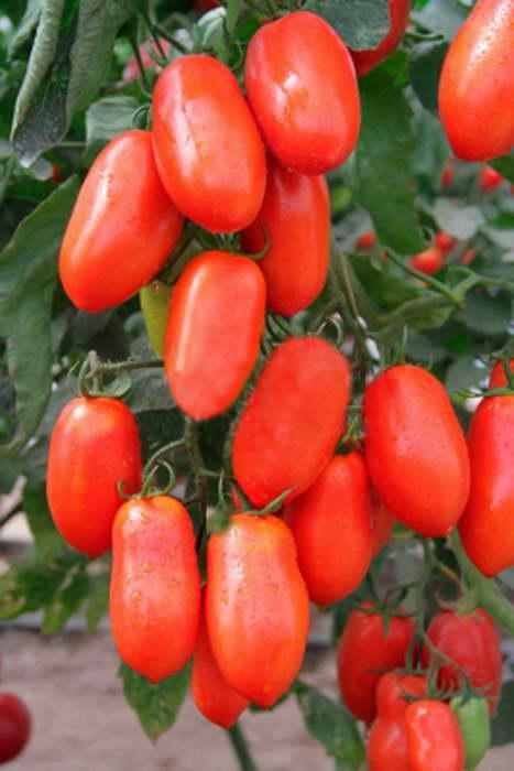 Томат лариса отзывы фото урожайность описание