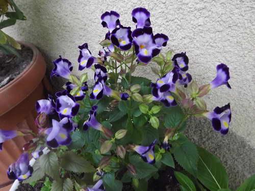 Торения в горшке фото цветов