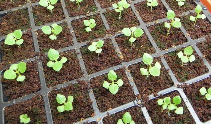Торения выращивание из семян в домашних условиях фото рассады