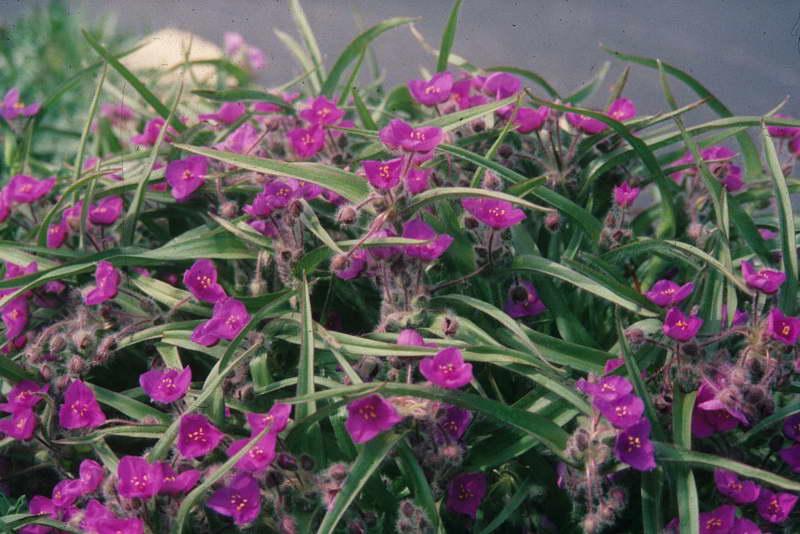 Традесканция мохнатая Tradescantia villosa фото