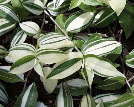 Традесканция приречная Tradescantia fluminensis variegata фото