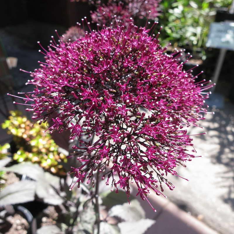 Трахелиум Деволюшен Бургунди Trachelium caeruleum 'Devotion Burgundy' фото