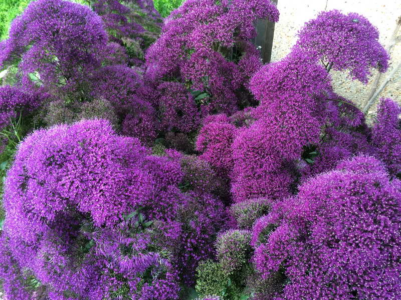 Трахелиум Деволюшен Перпл Trachelium caeruleum 'Devotion Purple' фото