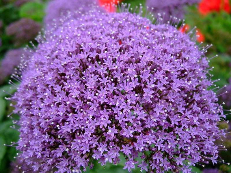 Трахелиум Пэшэн ин вайолет Trachelium Passion In Violet фото