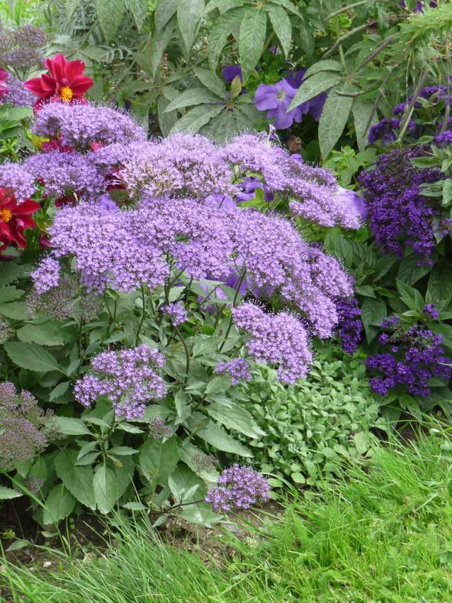 Трахелиум в саду с другими цветами фото