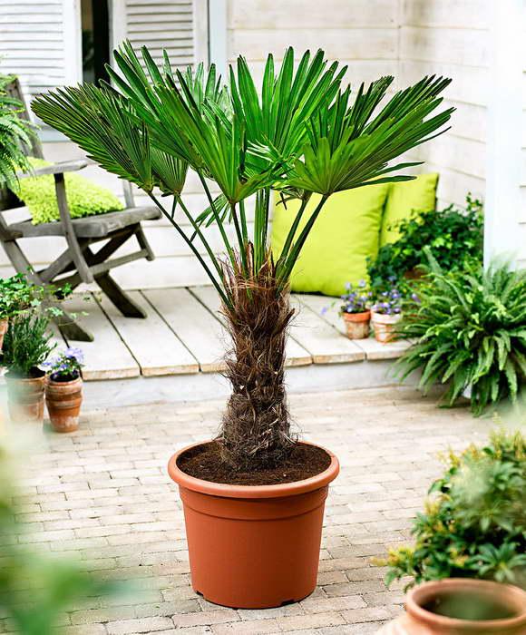Трахикарпус в домашних условиях выращивание и уход
