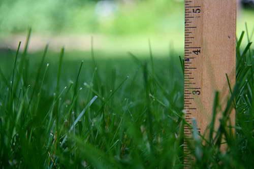 Трава райграс многолетний характеристика для газона фото