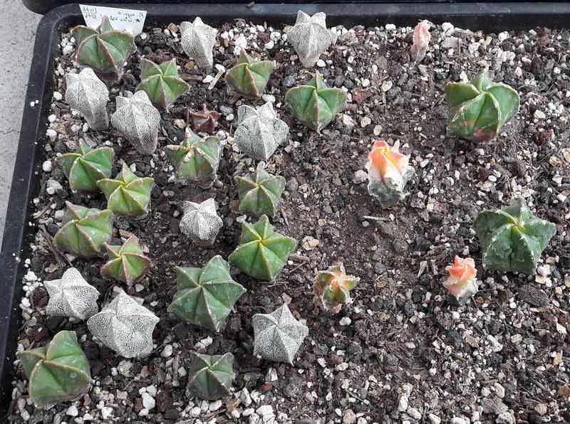 Трехлетние астрофитумы из семян фото