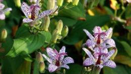 Трициртис пурпл бьюти выращивание и уход фото цветов