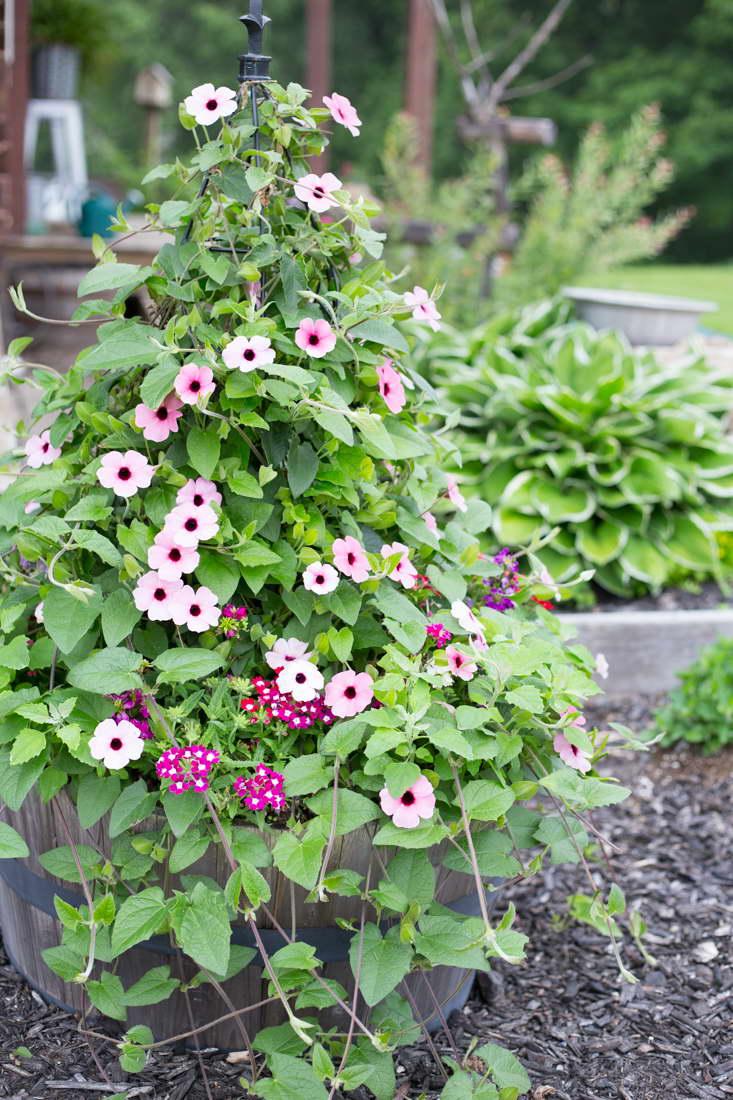 Тунбергия в саду вариант опоры конус фото