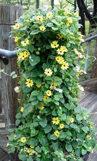 Тунбергия желтая как украшение лестницы на даче