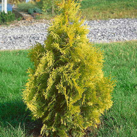 Туя западная Еллоу Риббон Thuja occidentalis 'Yellow Ribbon' фото