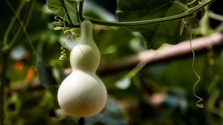 Тыква декоративная лагенария выращивание и уход в открытом грунте