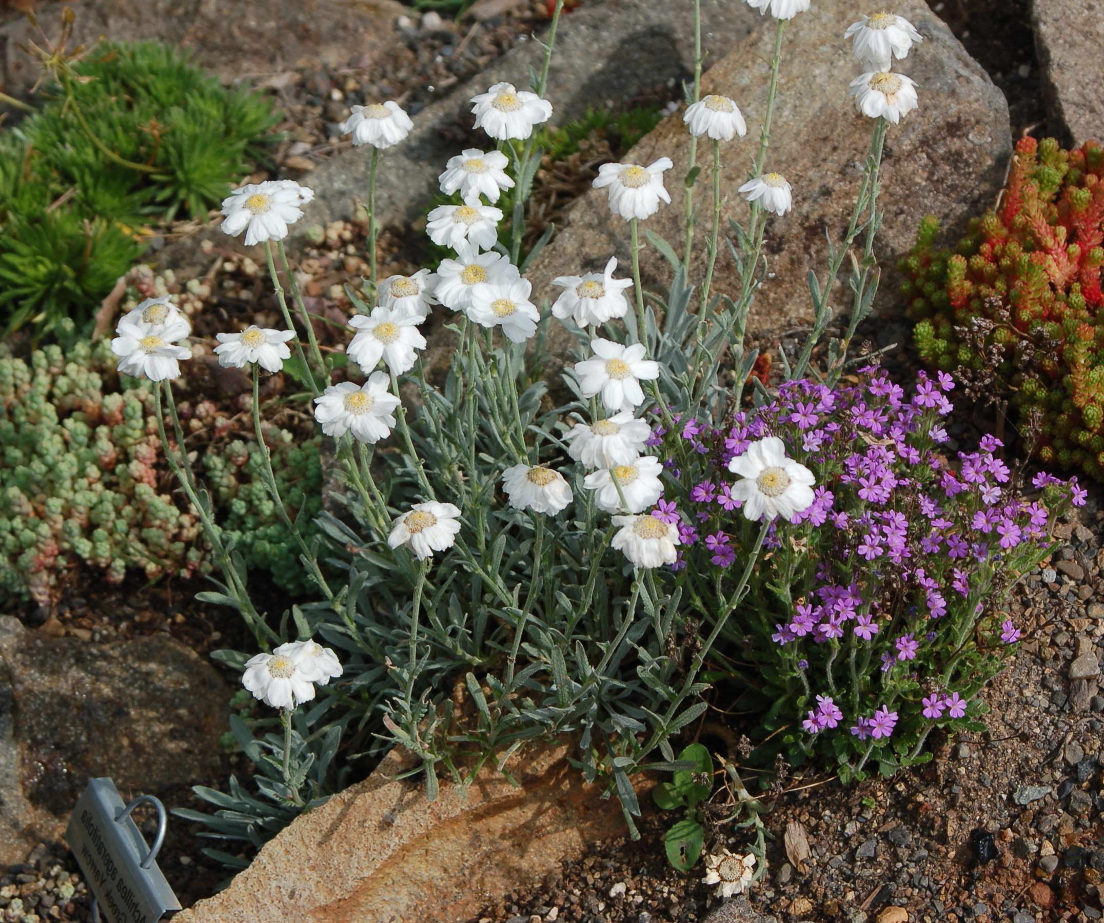 Тысячелистник агератолистный Achillea ageratifolia фото с другими цветами