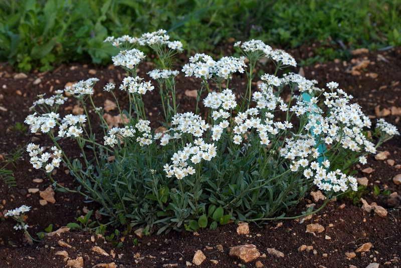 Тысячелистник агератолистный Achillea ageratifolia фото в саду