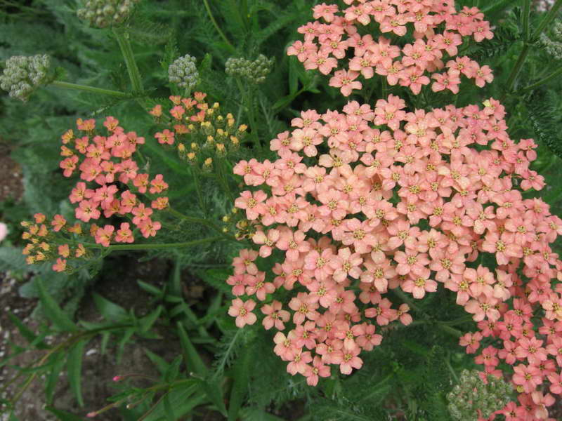 Тысячелистник декоративный сорт Achillea 'Salmon Beauty' фото