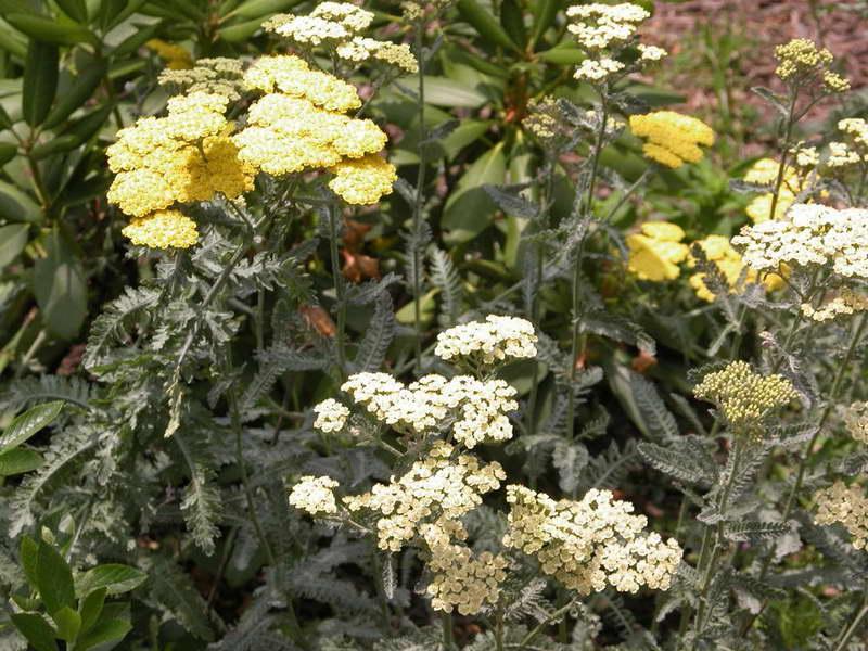 Тысячелистник садовый сорта 'Moonshine' и 'Coronation Gold' фото на клумбе