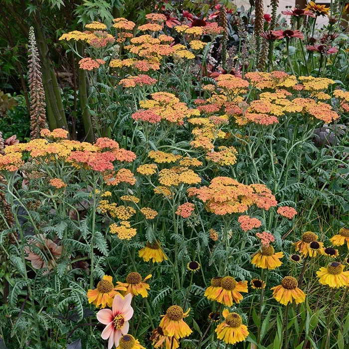 Тысячелистник в миксбордере фото цветов
