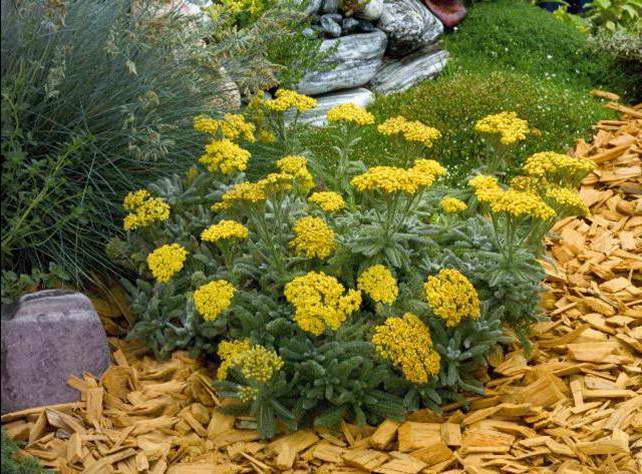 Тысячелистник войлочный Achillea tomentosa сорт Goldie фото в саду
