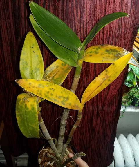 У орхидеи дендробиум желтеют листья что делать фото