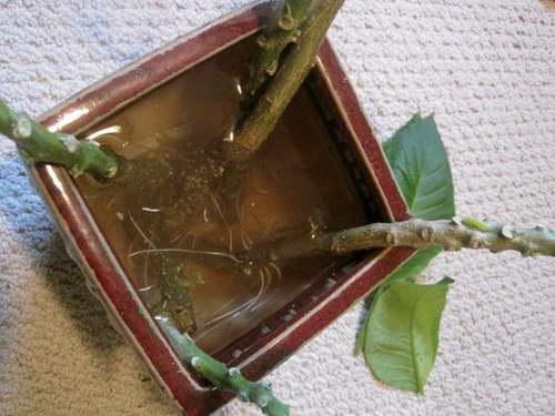Укоренение черенков бругмансии в воде фото