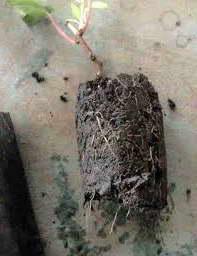 Укорененный черенок актинидии готов к высадке весной фото