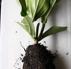 Укорененный черенок мединиллы фото