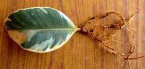 Укорененный лист фикуса каучуконосного