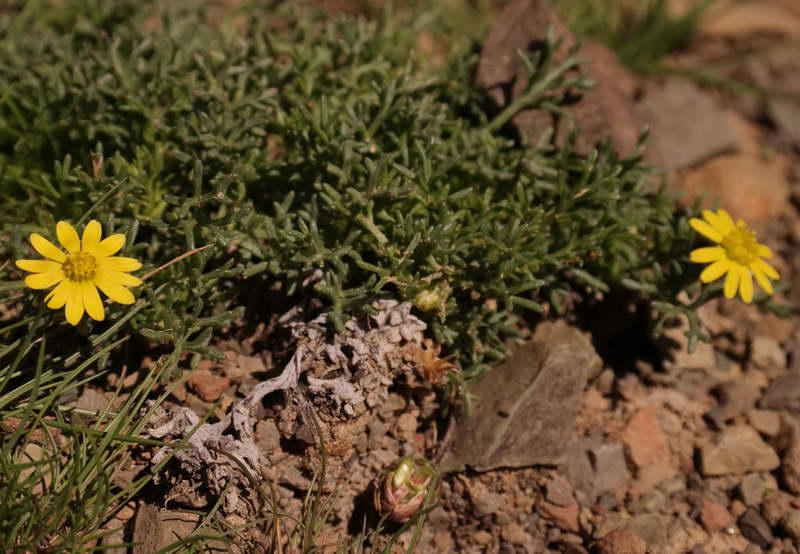 Урсиния карликовая Ursinia pygmaea фото
