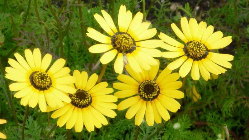 Урсиния красивая Ursinia speciosa фото