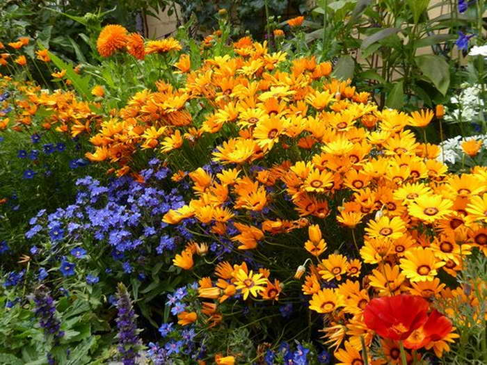 Урсиния укропная Солар файр Ursinia anthemoides 'Solar Fire' фото
