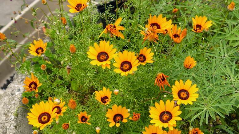 Урсиния выращивание из семян когда сажать в домашних условиях и в грунт