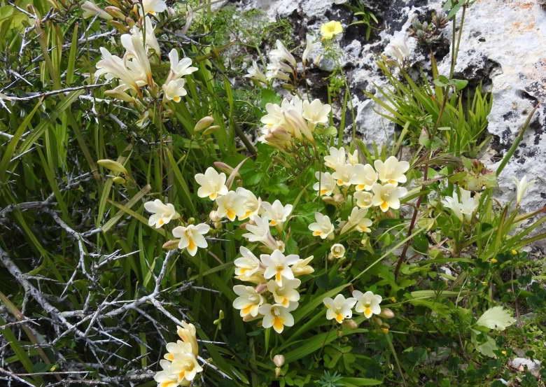 Условия выращивания фрезии в открытом грунте