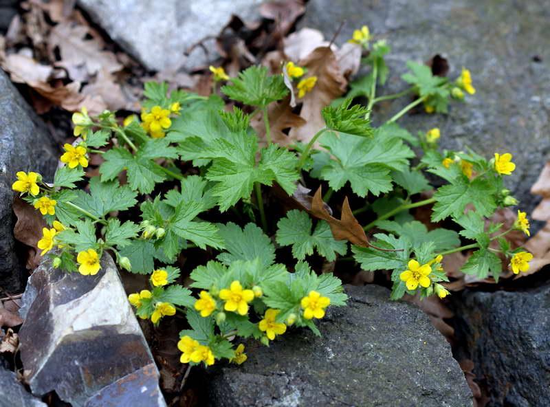 Вальдштейния гравилатовидная Waldsteinia geoides Prague травянистые растения для открытого грунта фото цветов