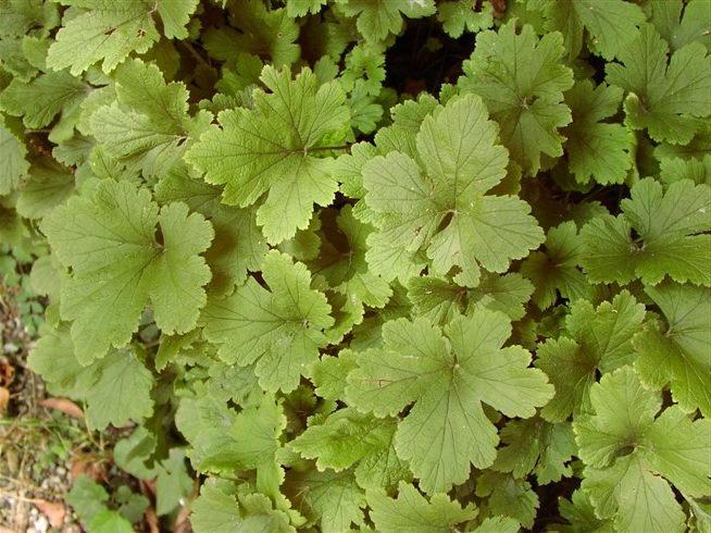 Вальдштейния повислая Waldsteinia pendula и Вальдштейния лопастная Waldsteinia babata фото