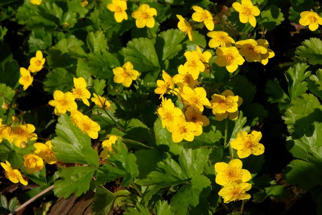 Вальдштейния сибирская травянистые растения для открытого грунта фото